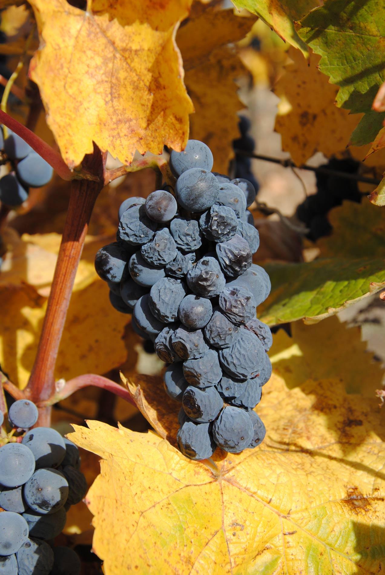 Töppedt szőlő